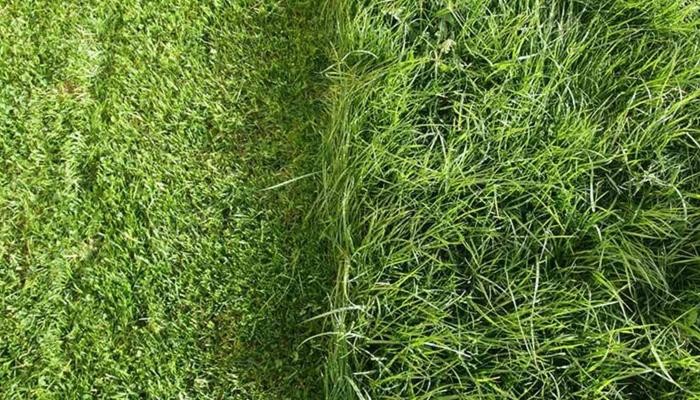 Các loại cỏ dùng cho sân golf phổ biến